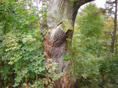 eine uralte Eiche unter Naturschutz stehend